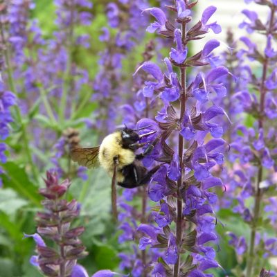 The bees like Salvia too.